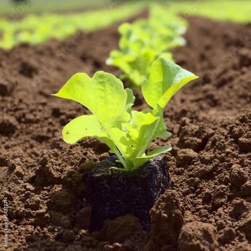junger Salat auf dem Feld in der Landwirtschaft