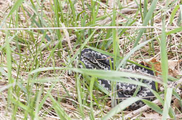 Common adder or viper on grass