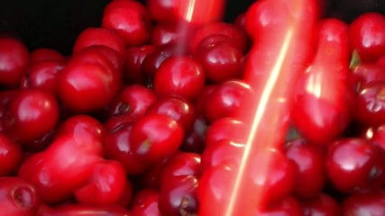 Harvesting red cherries in a bucket
