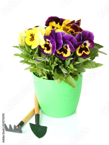 Staande foto Pansies Beautiful pansies flowers isolated on a white