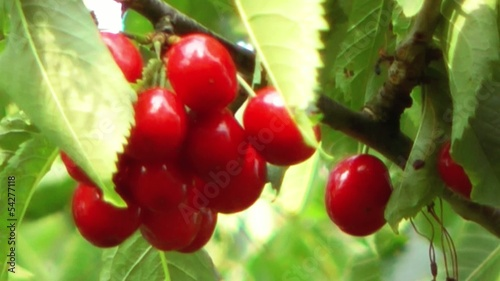 Ripe cherries hanging on a tree