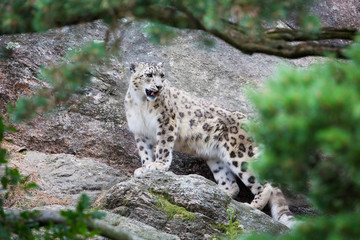 Snow Leopard in the mountain