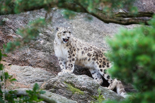 Fotobehang Luipaard Snow Leopard in the mountain