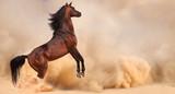 Arabian horse running out of the Desert Storm - 54278503