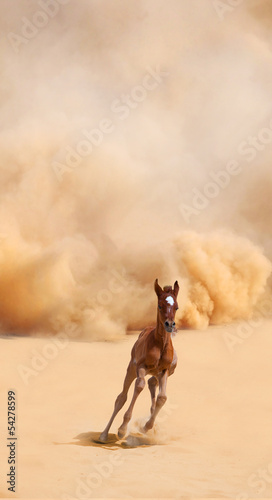 Arabian foal running out of the Desert Storm