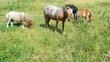 Ponys auf der Weide beim Grasen
