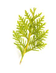 Thuja (Cedar) Leaf