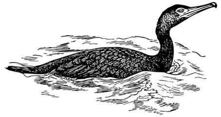 Bird Japanese Cormorant