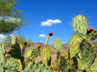 Prickly Pear Cactus with Red Fruits