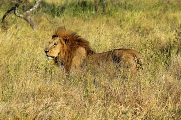 Male lion in savannah