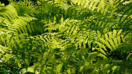 Backlit ferns.
