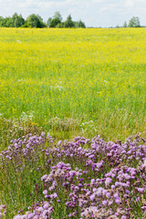 rape field with thistle