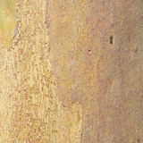texture of Eucalyptus wood surface