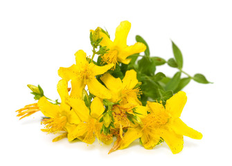 St. John's wort flowers close up on white background