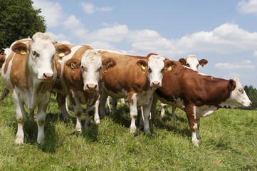 Kühe auf die Wiese