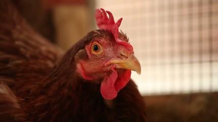 Gallina nel pollaio
