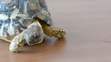 Leopard tortoise (Geochelone pardalis) on the table