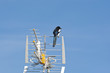 European Magpie, Pica pica, on a TV antenna