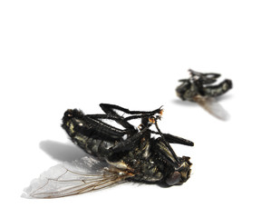 Dead flies on white background