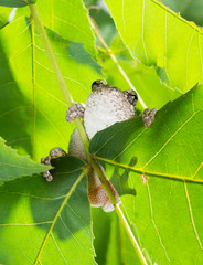 The gray tree frog Hyla chrysoscelis / versicolor on the leaves