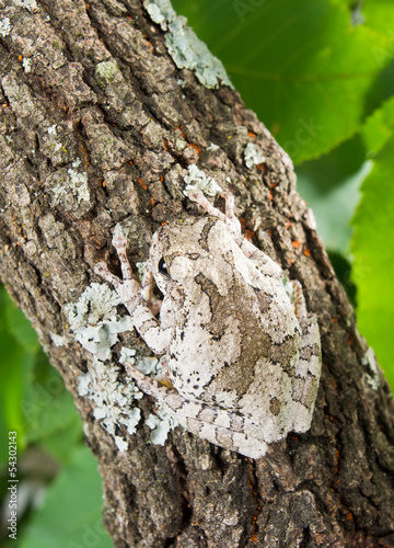 The gray tree frog Hyla chrysoscelis / versicolor on the trunk o