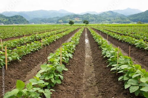 黒大豆の畑