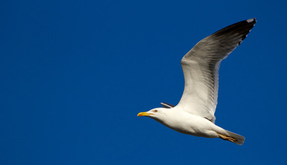 Close-up of a flying seagull in a clear blue sky