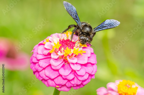 Bumble Bee Working