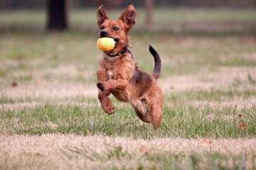 cane fulvo gioca a palla al parco