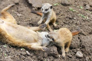 Suricate or meerkat (Suricata suricatta) babies