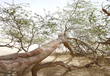 A 400 year-old mesquite tree with think branches  on the ground