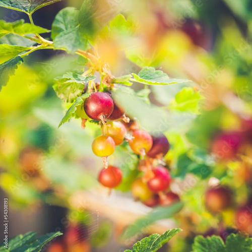 Detail of Red Currant Crossbreeded with  Gooseberry