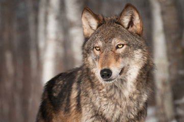 Grey Wolf (Canis lupus) Looks Left