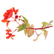 beautiful red begonia