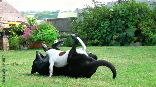 Jack Russell and Labrador play fighting