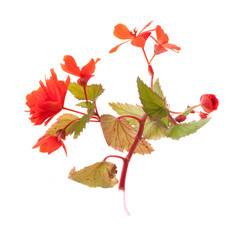 red begonias twig