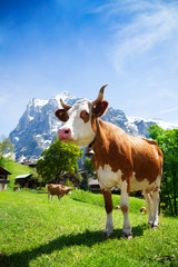 Switzerland cow