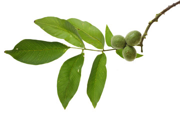 walnut branch with unripe fruits