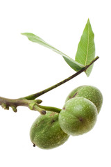 green walnuts on a twig