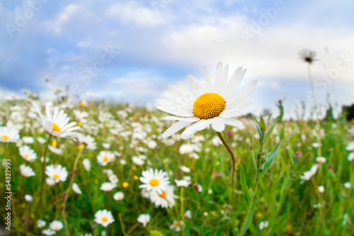 daisy flowers on summer meadow