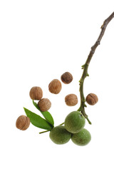 ripe and unripe walnuts on white background