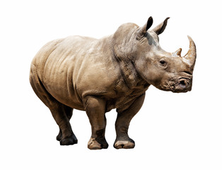 rhino on white background