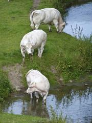 Trois vaches dans un pré
