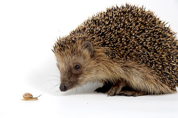 jeż , hedgehog