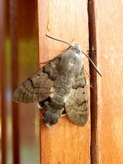 Hummingbird or Humming Bee Hawk Moth (Macroglossum Stellatarum)