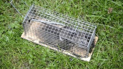Ratte im Käfig,