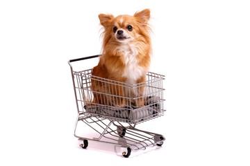 Hund Chihuhahua im Einkaufskorb