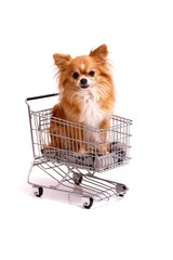 Hund Chihuahua im Weinkaufswagen