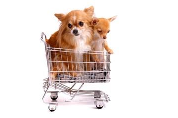 Zwei Chihuahuas im Einkaufswagen