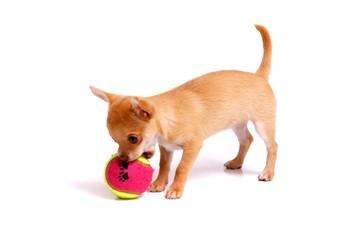 Chihuahua Welpe spielt mit Ball